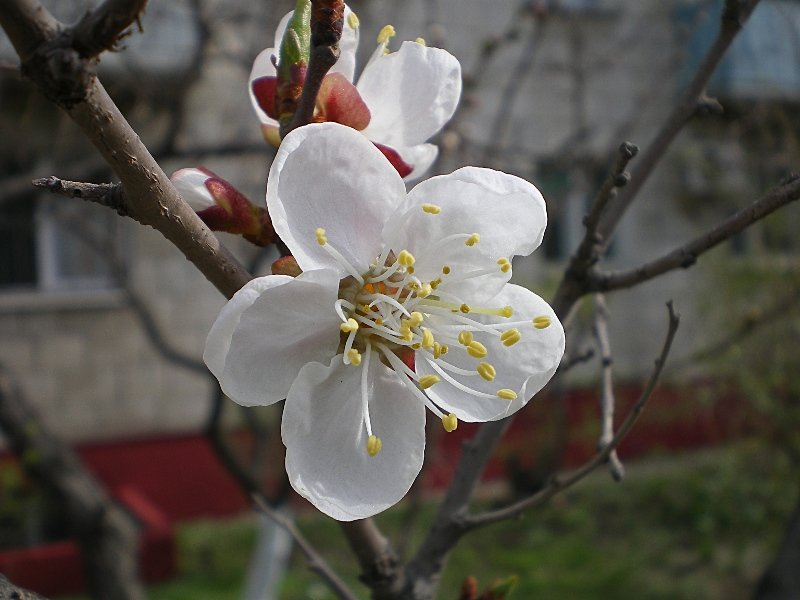 картинки цветущих деревьев абрикос смотреть частых