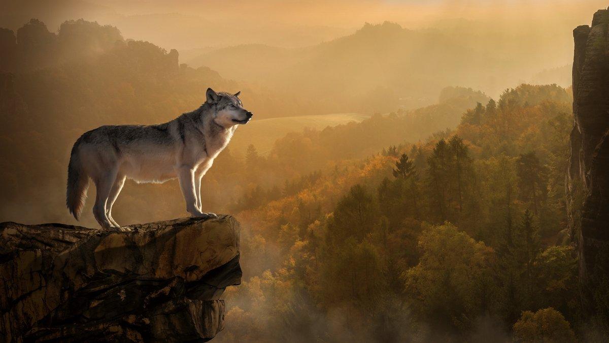 Картинки одинокий волк на рабочий стол