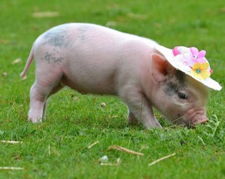 орех фотообои домашние свиньи обладают различной