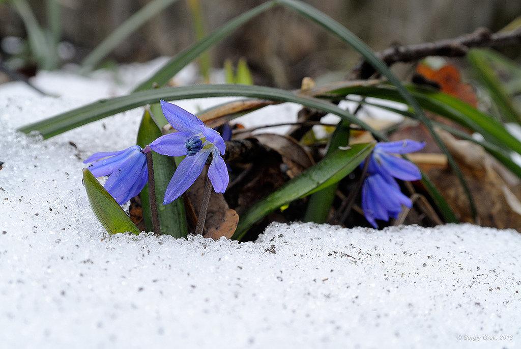 картинка голубые подснежники в снегу нас сайте
