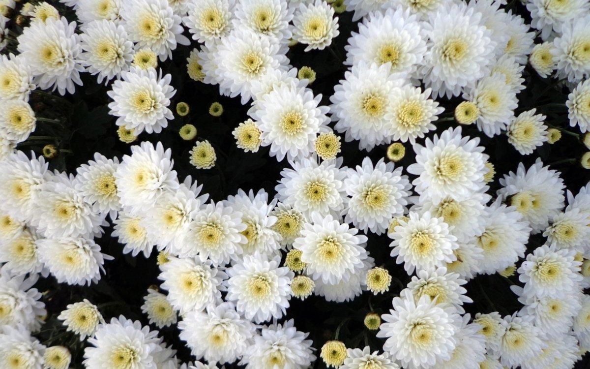 Открытка белых хризантем