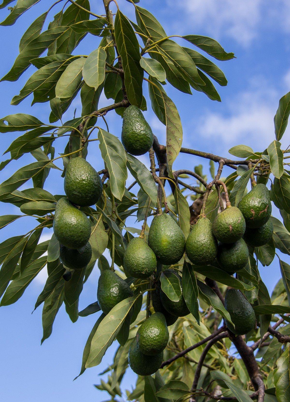 этом на чем растут авокадо в картинках конечно очень