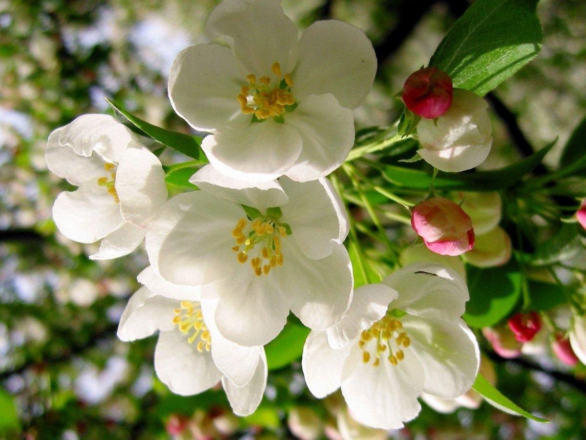 простая уютная картинка на рабочий стол цветение яблони новые