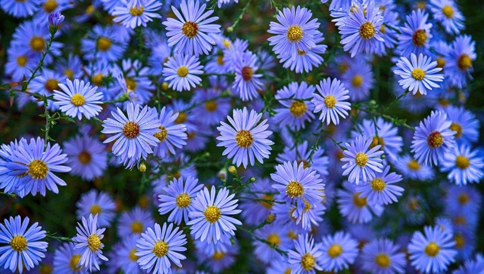 Ромашки голубые картинки