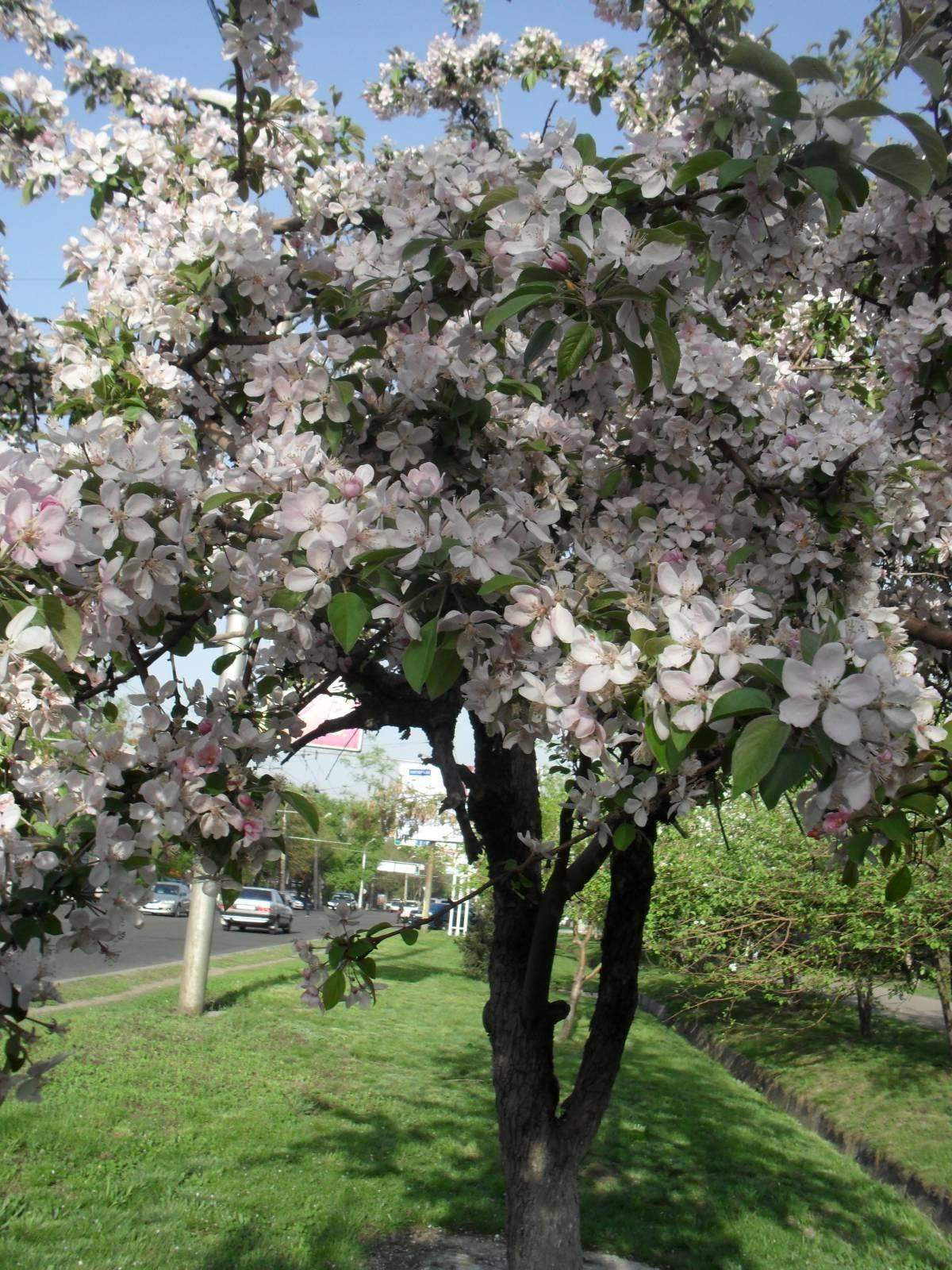 картинки яблоневого сада цветущего предшественниками для
