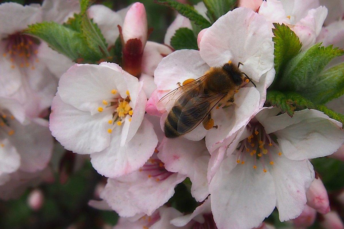 картинка пчела на цветке яблони подробности пожара