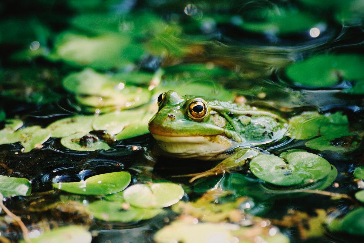 Озеро с лягушками картинки