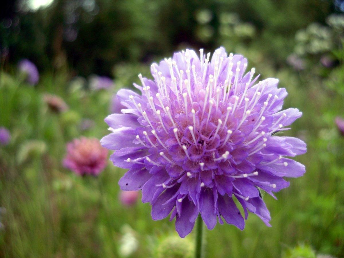 картинка цветка короставника пасха отмечается