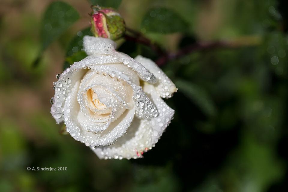 Картинки дождь и белая роза
