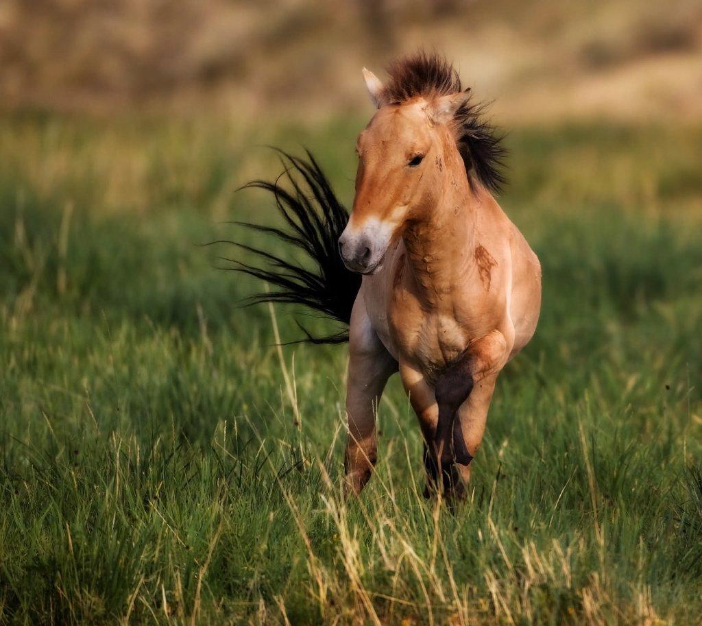 Картинка лошадь пржевальский