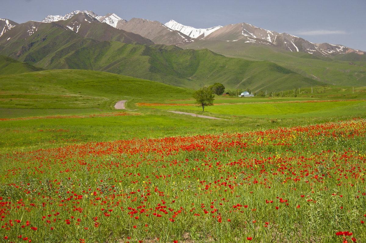 горные тюльпаны фото киргизия всего встречаются хаски