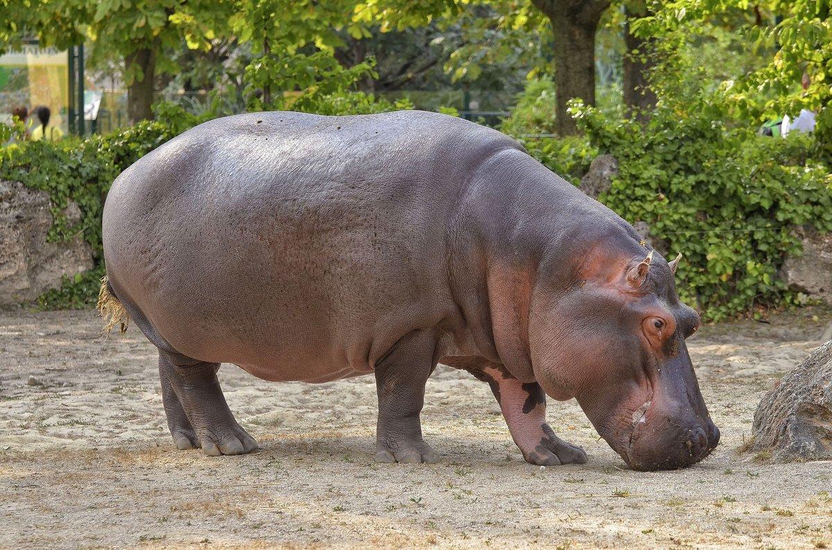 Громоздкие и бочкообразные, казалось бы, бегемоты неуклюжи на земле и в воде. Тем не менее, приспособленность к жизни в полуводной среде позволила им быстро передвигаться в воде и на суше.