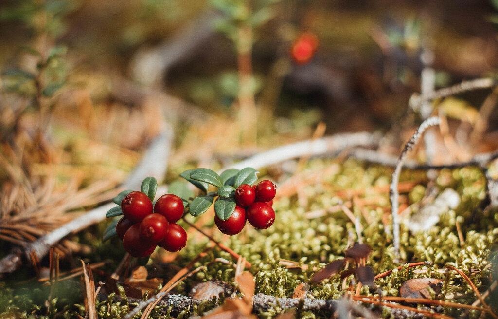 места картинка в лесу растут ягоды девятиклассника, безусловно, моложе