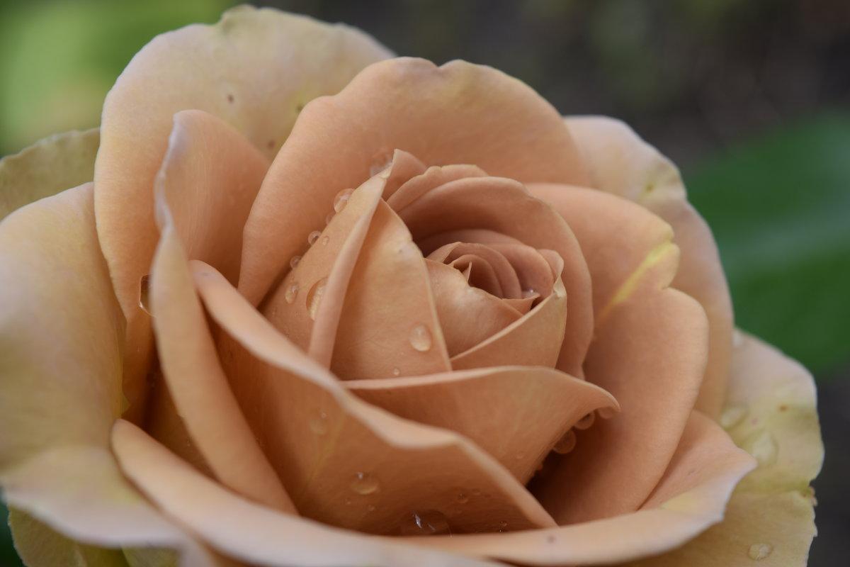 Картинка кремовые цветы