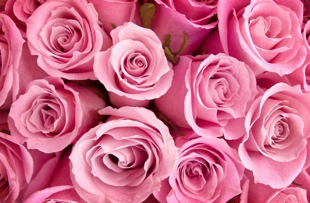 Роза в картинках красивая
