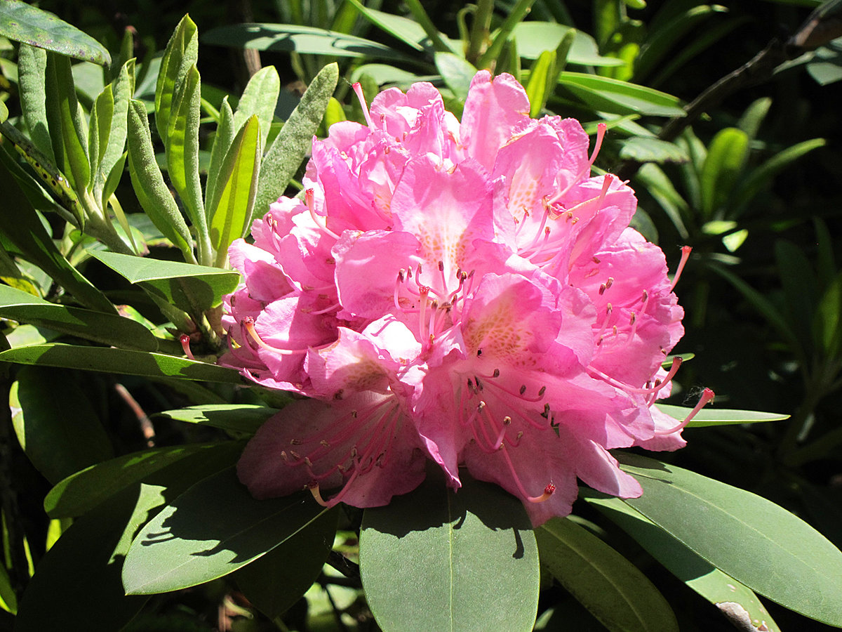 еще одно рододендрон розовый картинки пообщалась этим ярким