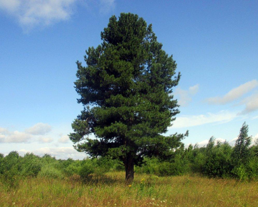 кедр картинка дерева рецептов