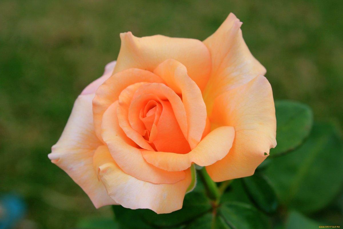 этот импульс фото чайных роз в хорошем качестве день