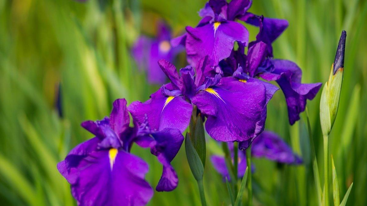 Цветы ирис открытки