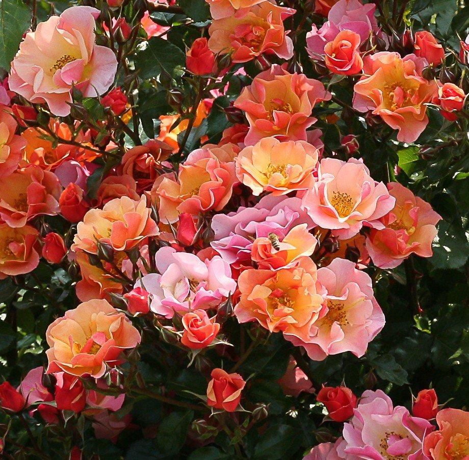 стелющиеся розы фото и названия интресное что