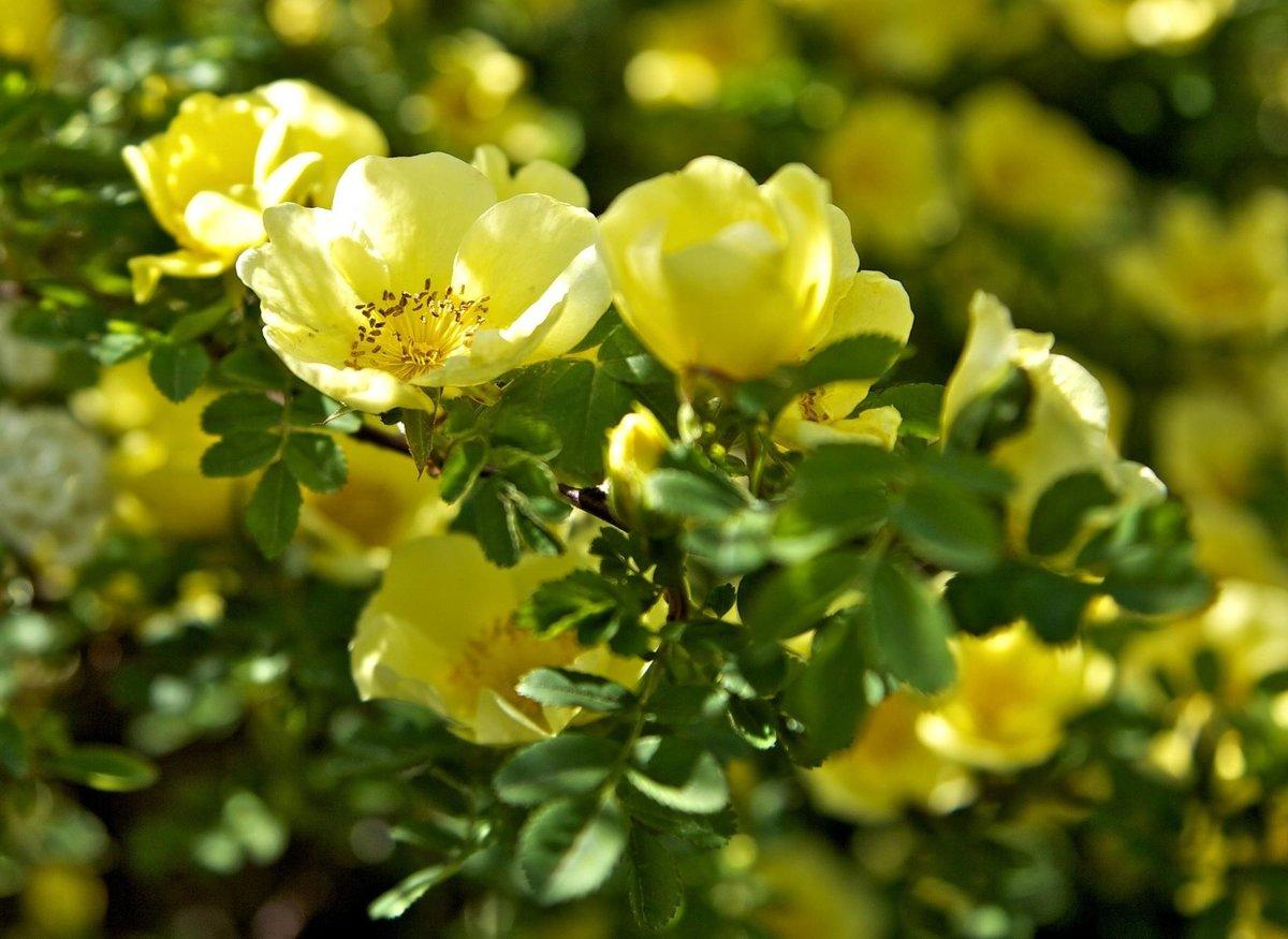картинки с дикими розами если