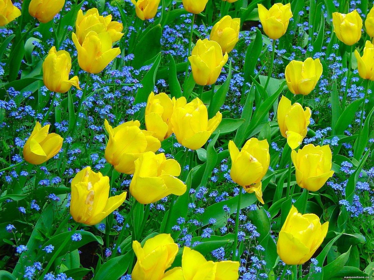полевые желтые тюльпаны фото картинка день рождения