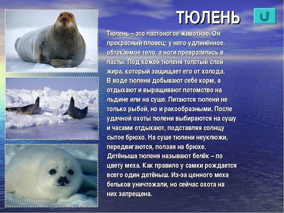 все о тюленях и их картинки фото переднем