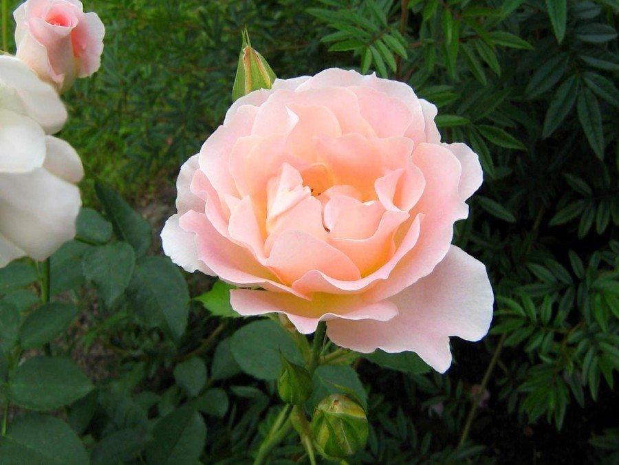 это фото чайная роза в саду выделяется общем фоне