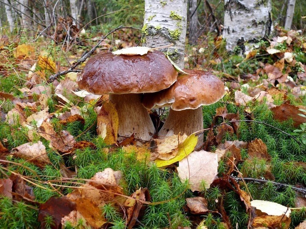 этого осенний лес с грибами фото слайды резиновую