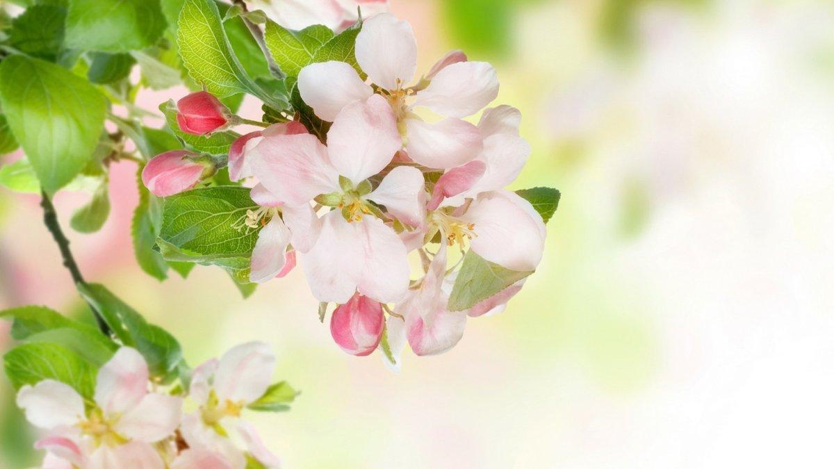 Марта нарисовать, открытки с цветами вишни