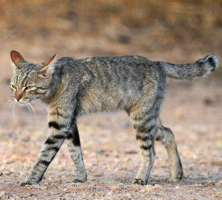 Картинка нубийская кошка
