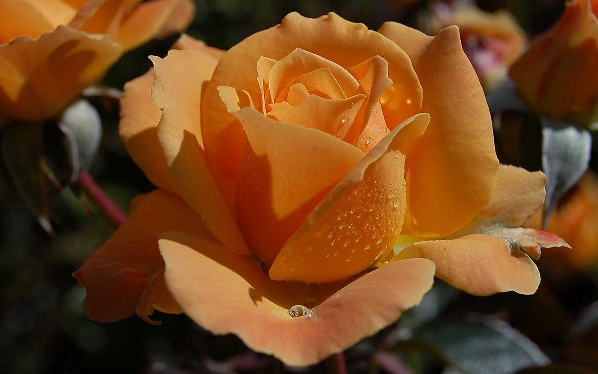 Картинки розы чайные