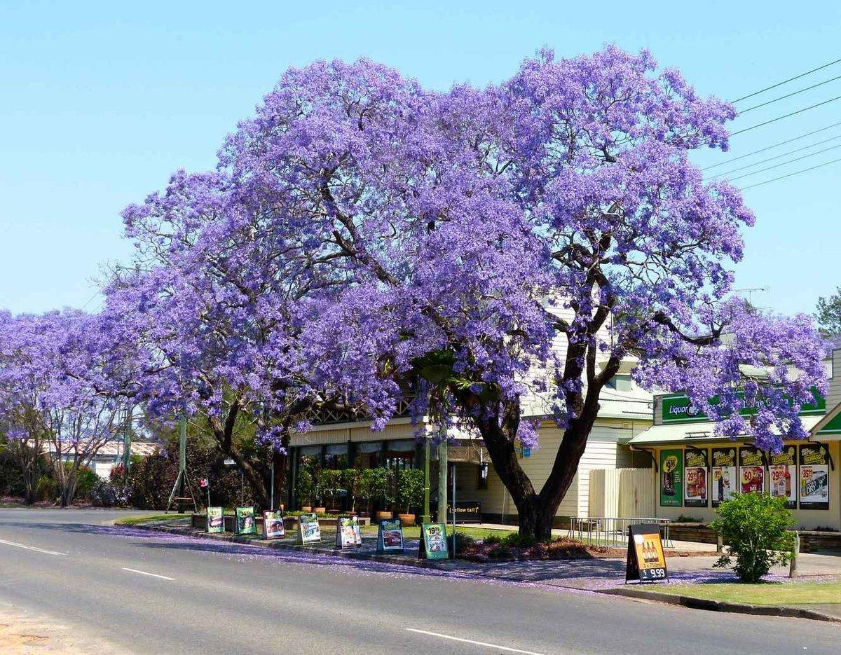 потому, лиловое дерево фото музыкальные открытки