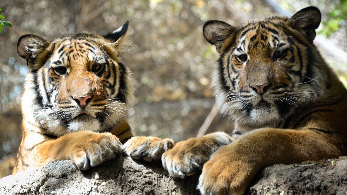 Картинка с тиграми на рабочий стол