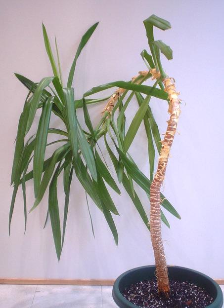 Ствол у пальмы лысый как развести #3