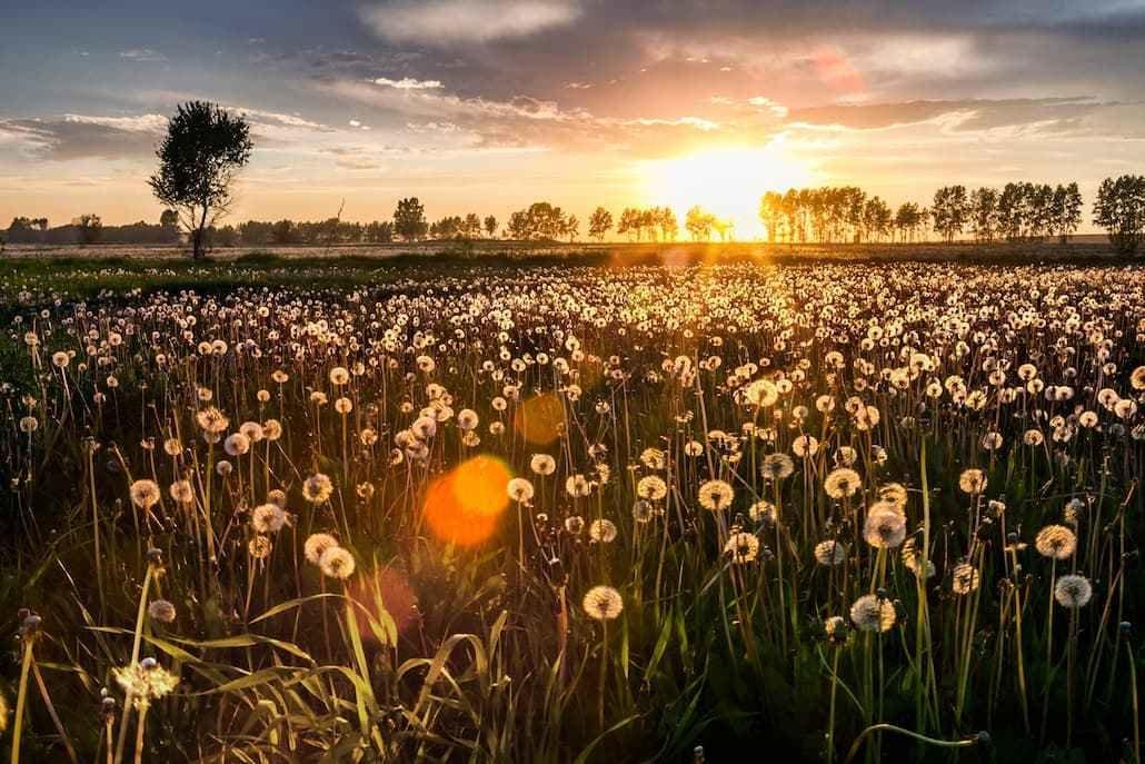молд поле одуванчиков летом фото может быть