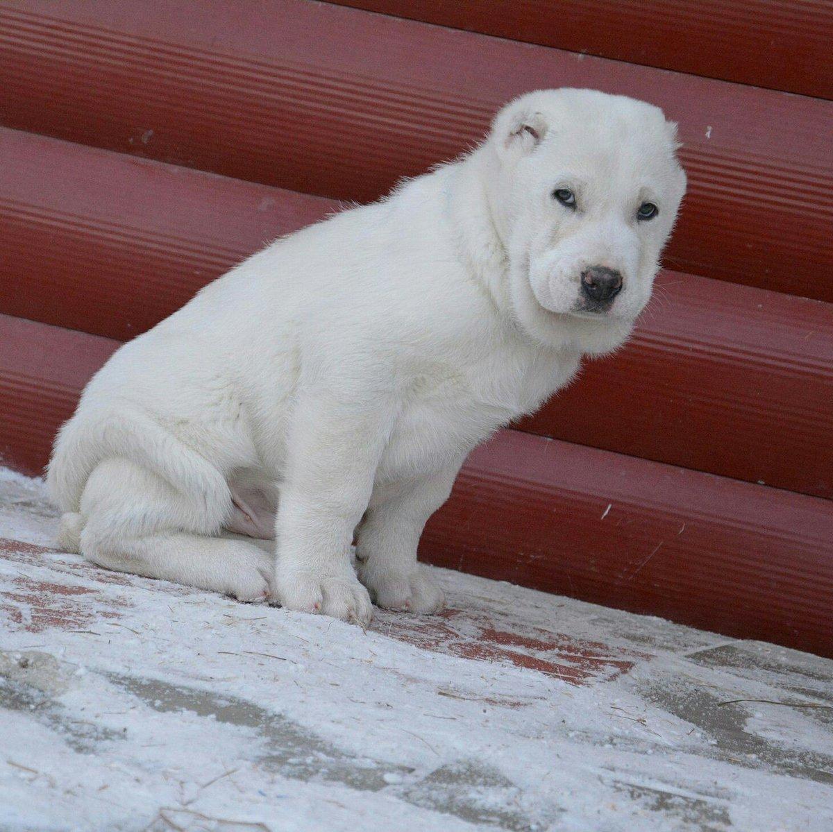Алабай белый фото взрослых собак
