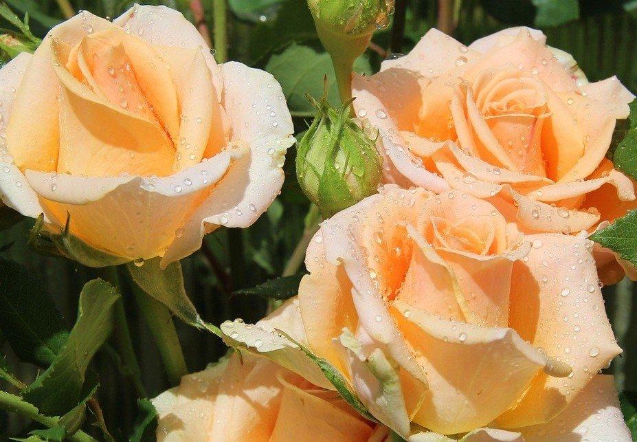 Красивые открытки чайная роза, третьей годовщиной свадьбы