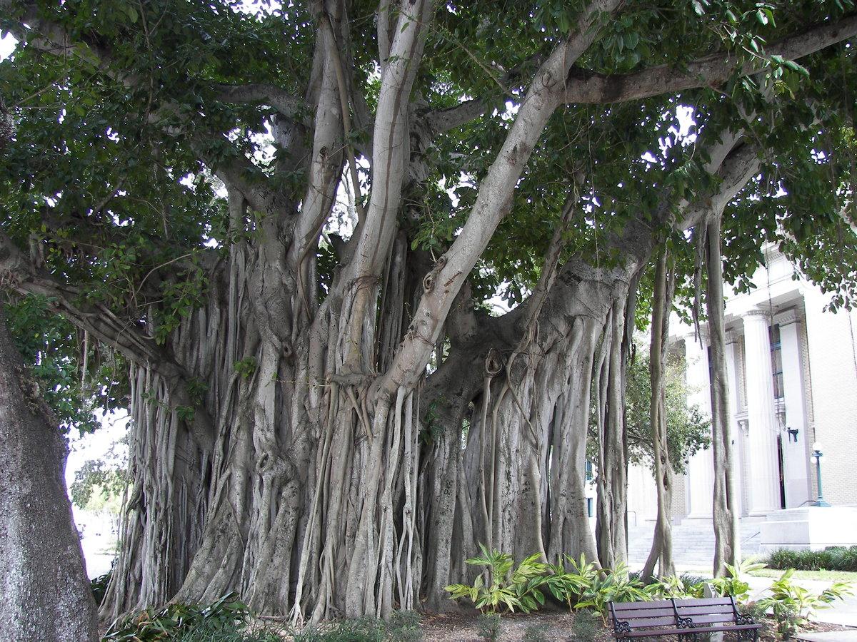 Чудо деревья фото и названия