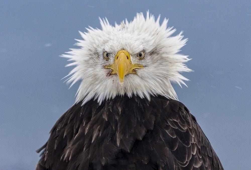 Картинка орла смешные, телефонисту прикольные