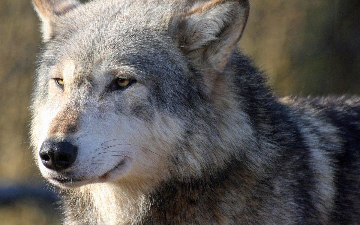 Картинка с надписью серый волк, трансформеров фильма пятницей