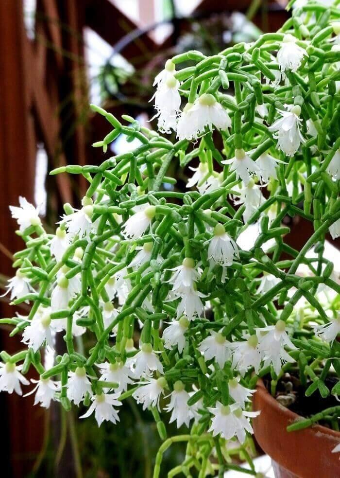 Цветок Рипсалис цереускула: фото, уход в домашних условиях