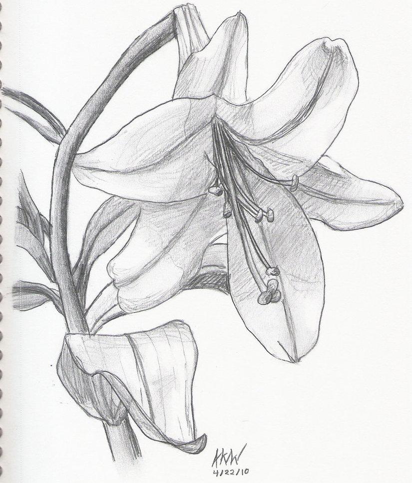 Лилии картинки карандашом