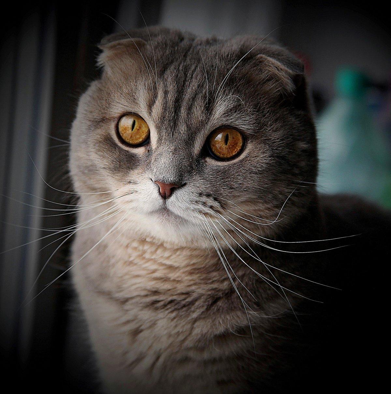несколько коты шотландцы фото вислоухие можете приобрести