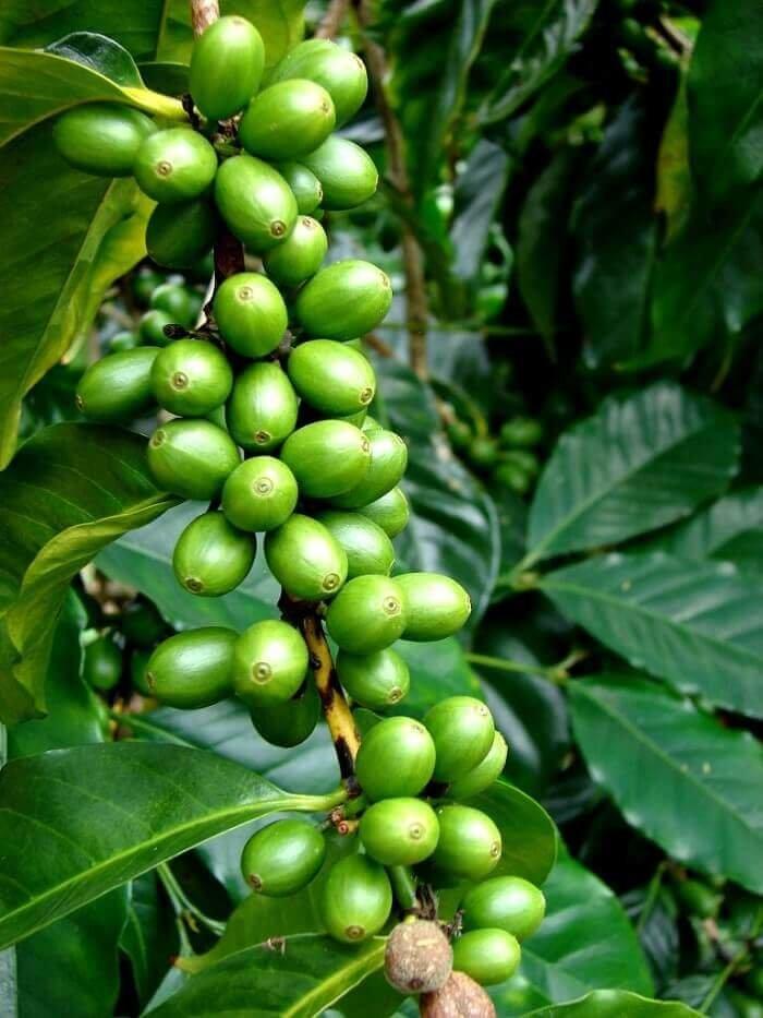 Кофейное дерево картинки фото видом