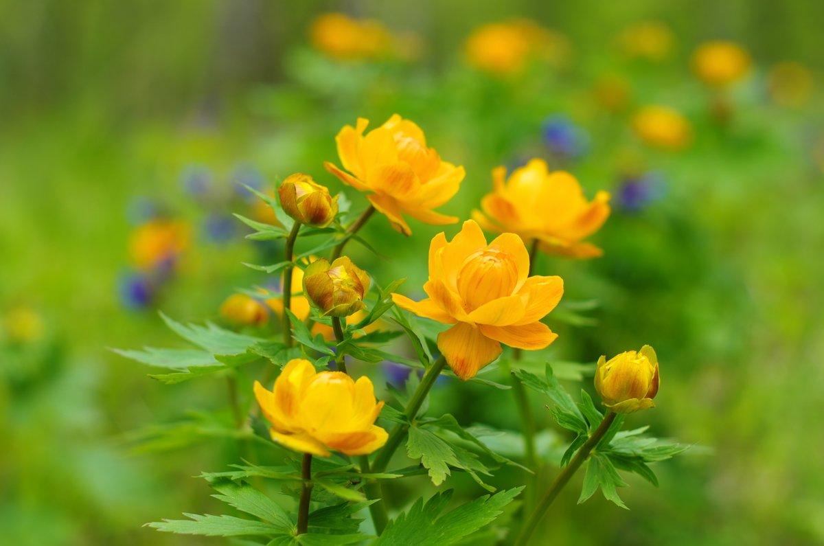 цветы жарки сибирские фото можете проложить маршрут