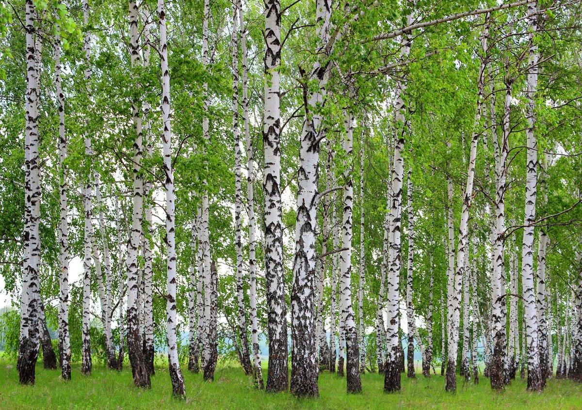 День, картинки березовый лес весной
