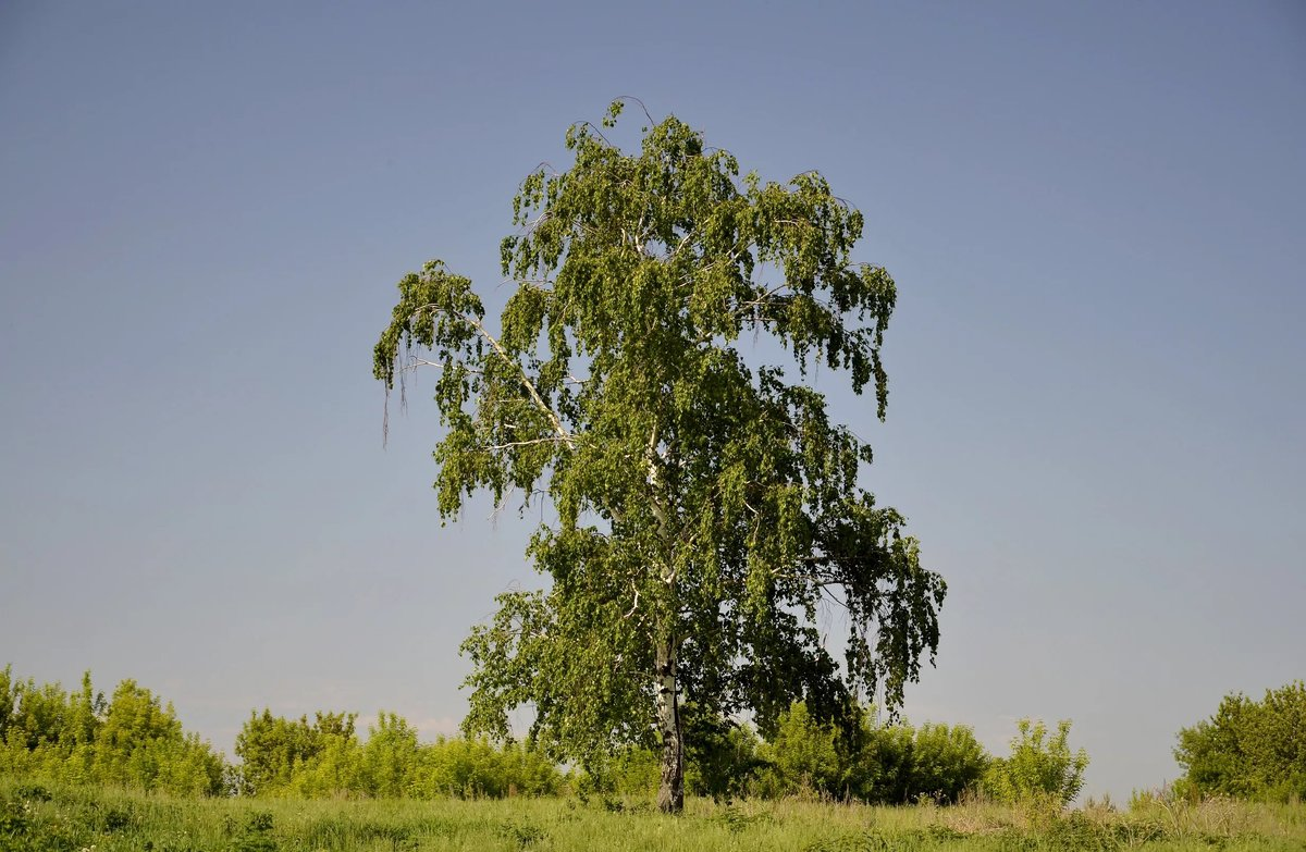 Картинки деревьев россии