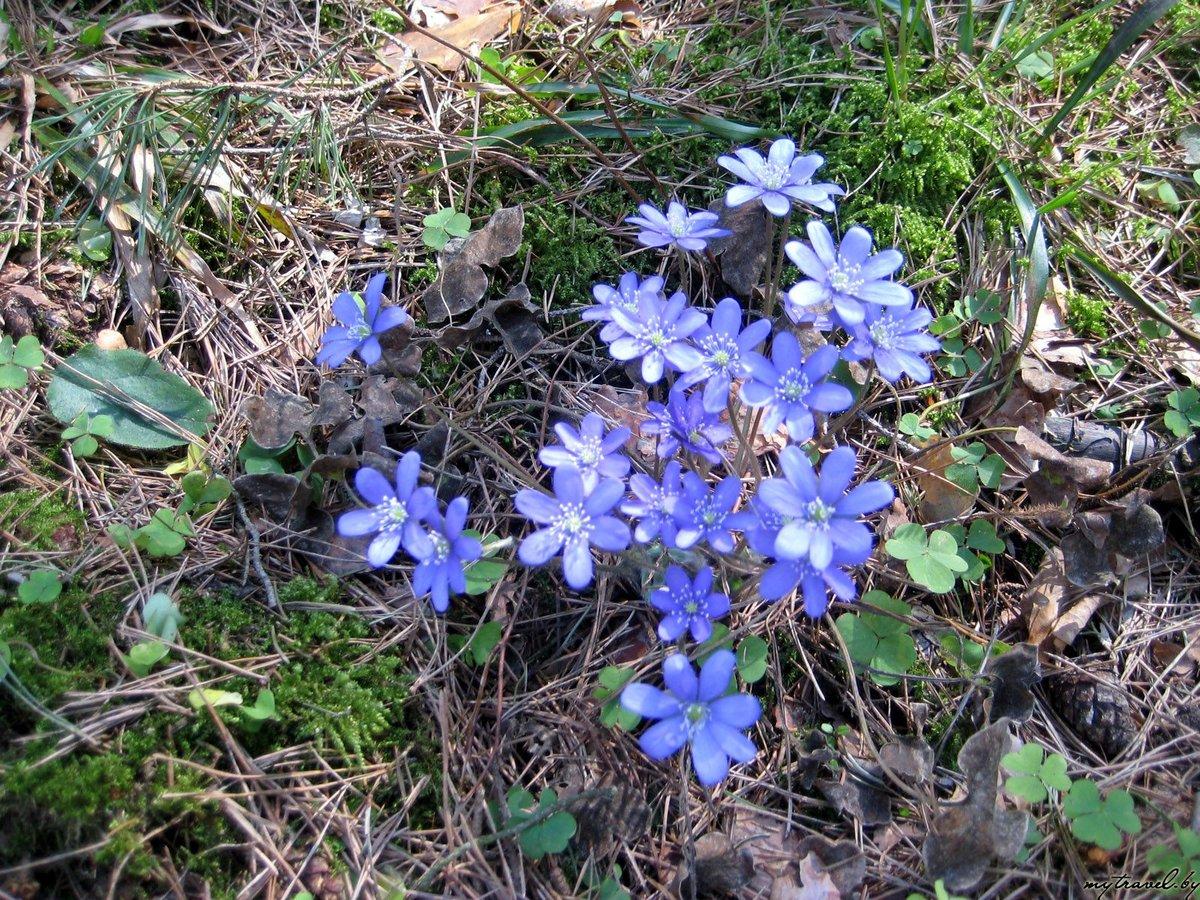 первые весенние лесные цветы фото и названия вот