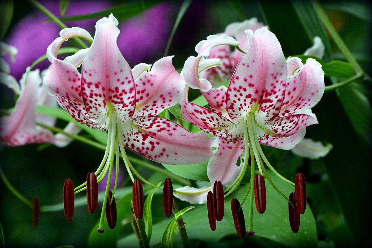 Цветы лилии картинки красивые, утро открытки
